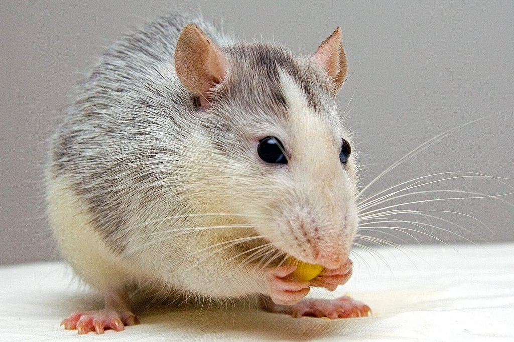 Cuidados que não podem faltar com seu hamster de estimação